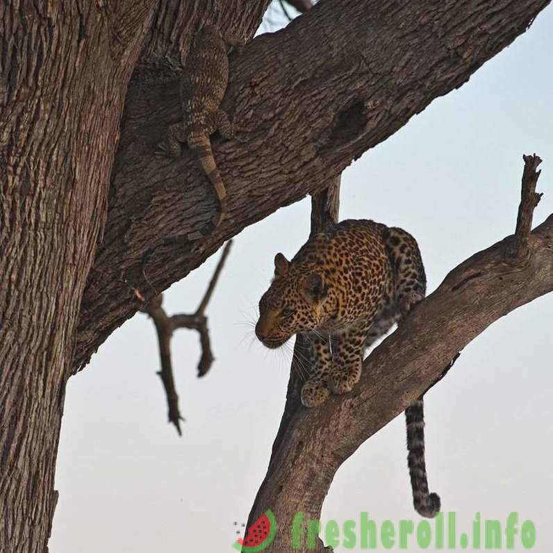 Life graceful leopard photo